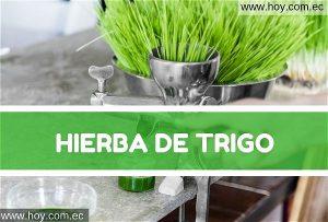 Hierba de trigo (wheatgrass)